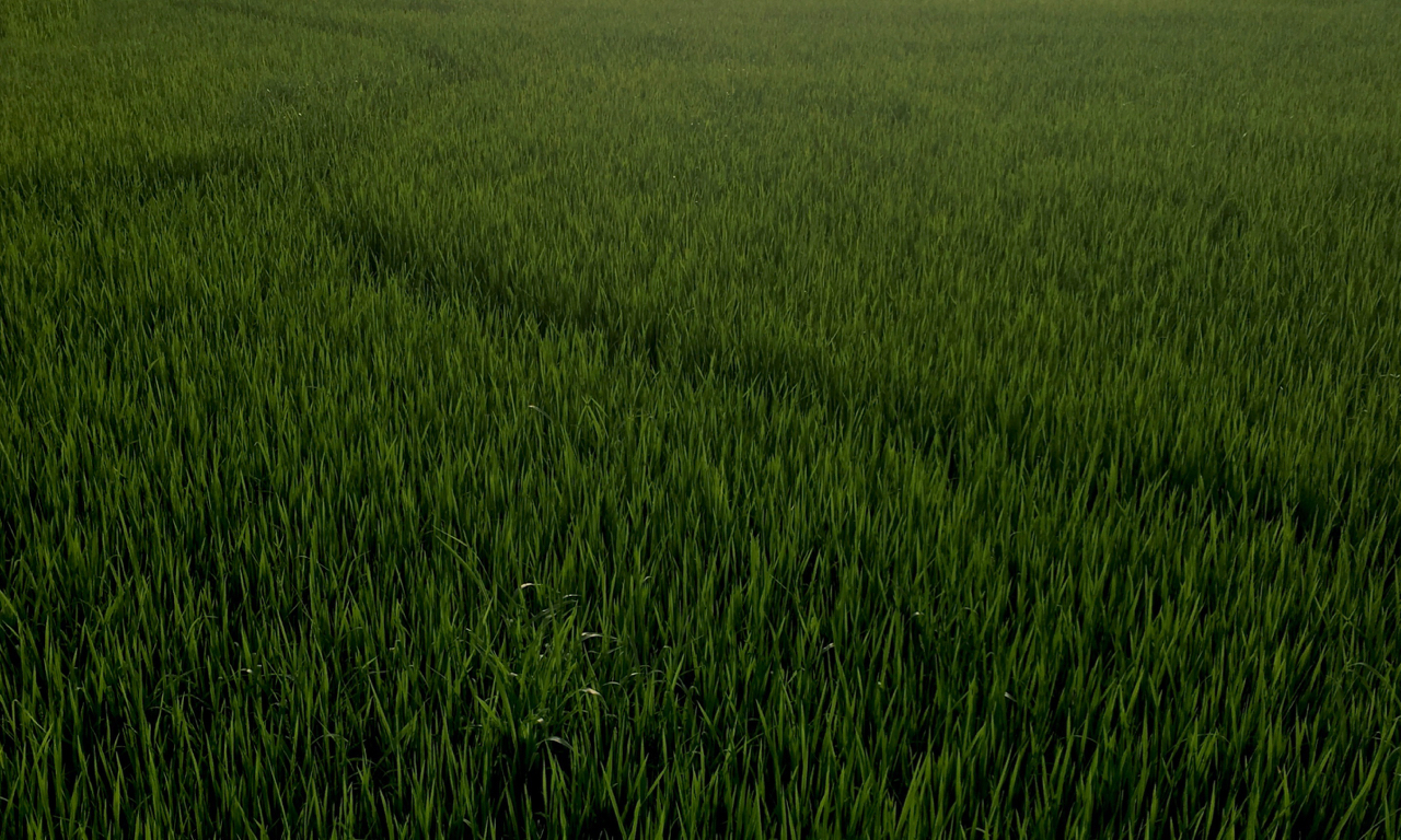 new rice